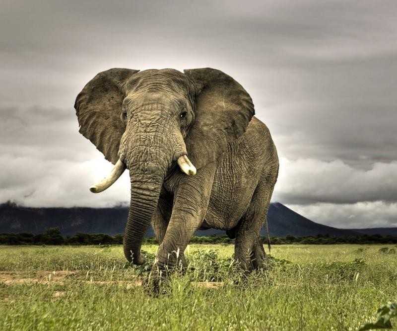 アフリカゾウ2