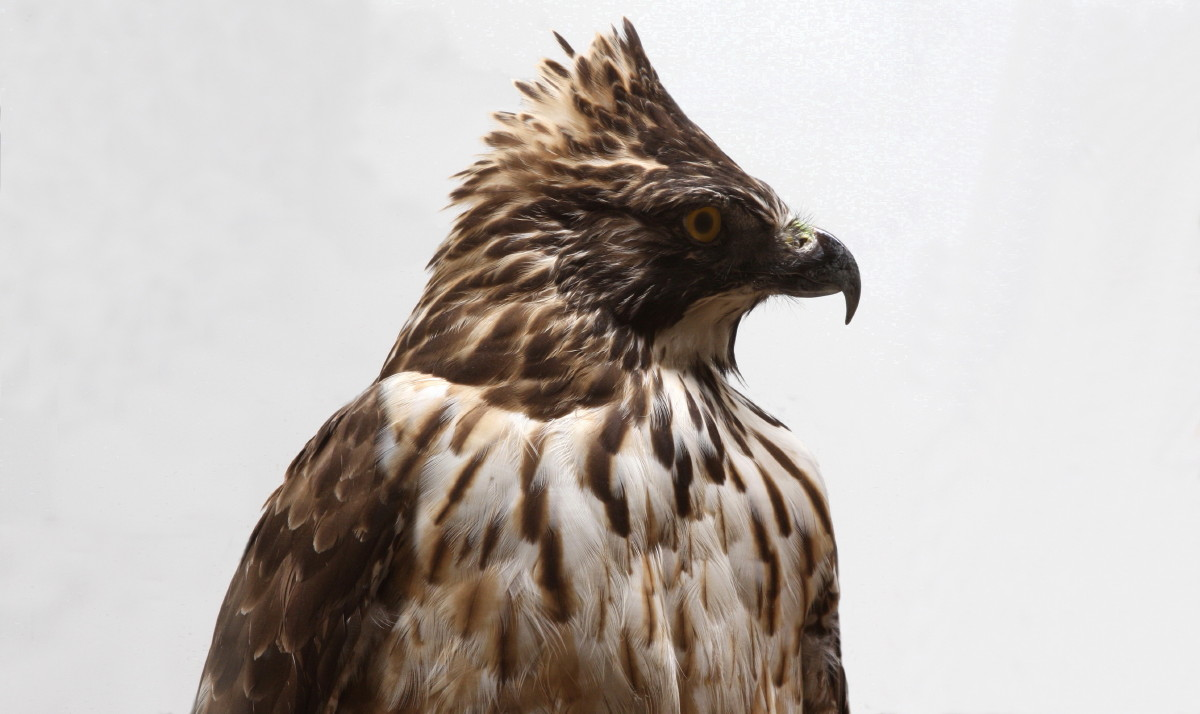 生態系の頂点】鷲や鷹などの猛禽類がかっこよすぎる【オーラやばい】